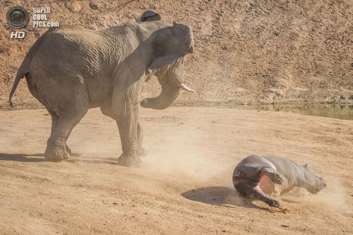 слон и бегемот фото 9 (700x466, 282Kb)