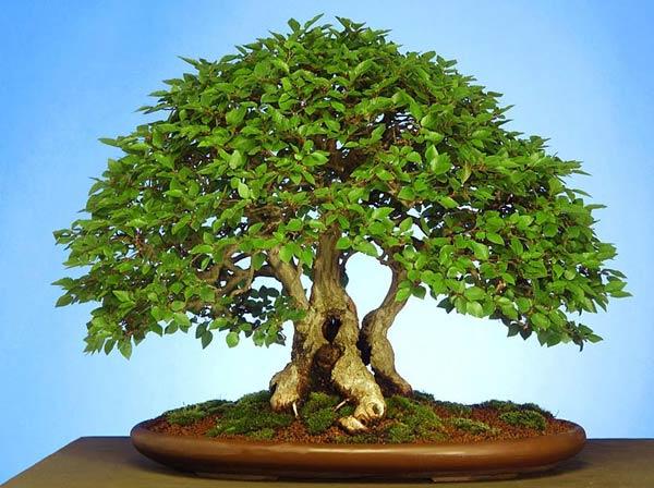 bonsay (600x448, 61Kb)