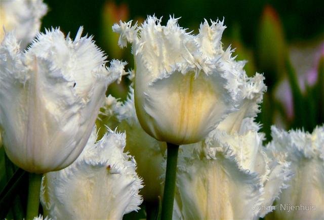 тюльпаны с ресничками (640x435, 220Kb)