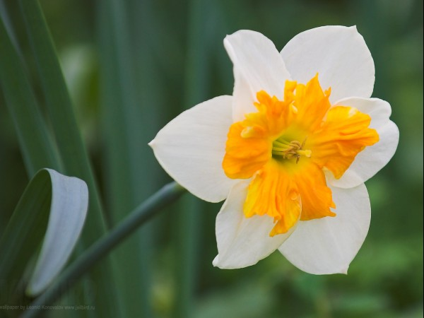 narcissus_s (600x450, 48Kb)