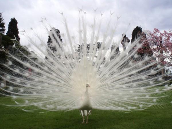 белый павлин (600x450, 68Kb)