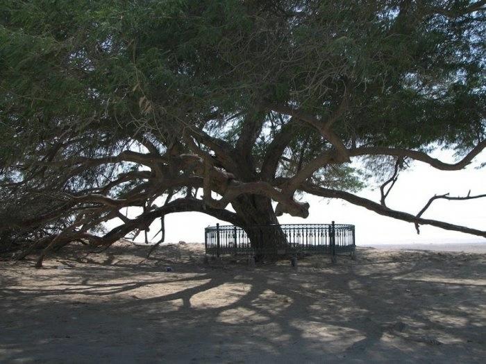 дерево в пустыне бахрейн 1 (700x525, 197Kb)