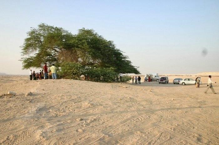 дерево в пустыне бахрейн 3 (700x466, 157Kb)