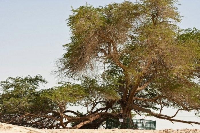 дерево в пустыне бахрейн 5 (700x466, 253Kb)