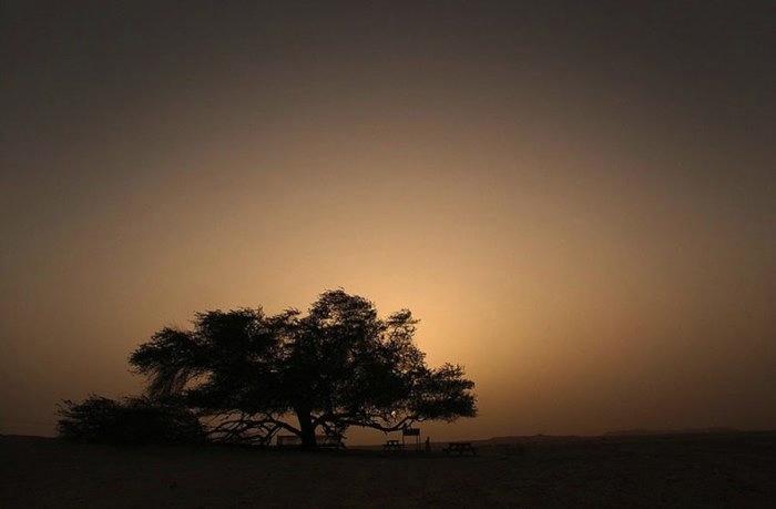 дерево в пустыне бахрейн 7 (700x459, 58Kb)