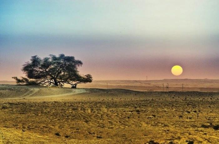 дерево в пустыне бахрейн 9 (700x462, 133Kb)
