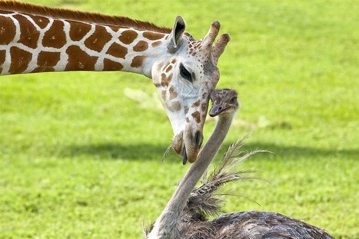 InterspeciesFriends09 (700x466, 137Kb)