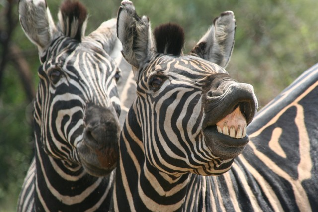 laughing-zebra (640x427, 77Kb)