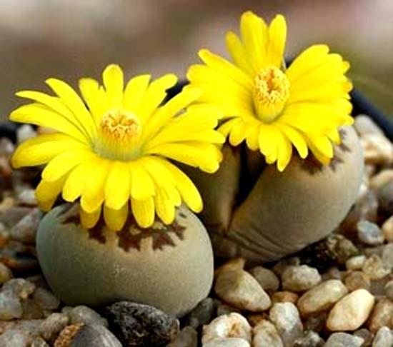 tJR889M_ErQquv_flower_stones (550x486, 139Kb)