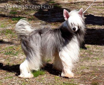 Собака высотой в холке 23-33