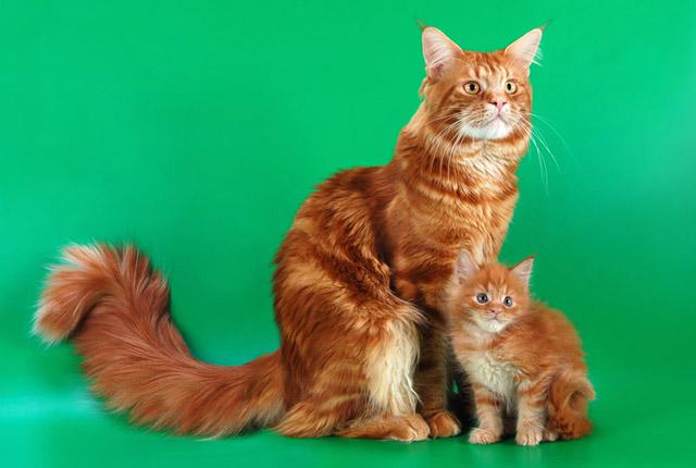 мейн-кун фото мэнская енотовидная кошка,/1386120265_1268321060_79521 (640x430, 88Kb)