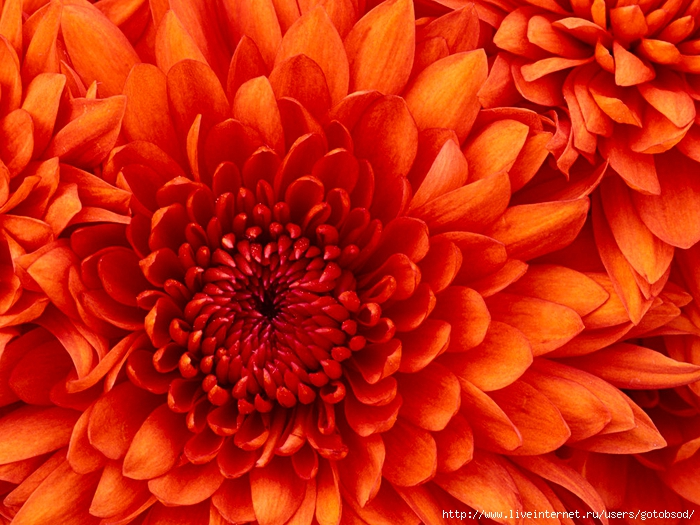 Chrysanthemum (700x525, 348Kb)