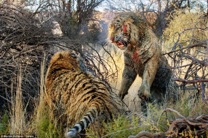 дикие тигры фото 1 (700x466, 294Kb)