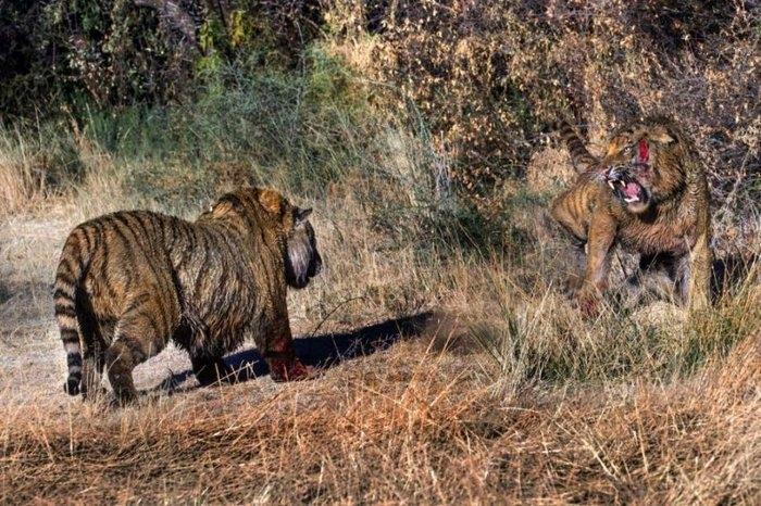 дикие тигры фото 3 (700x466, 307Kb)