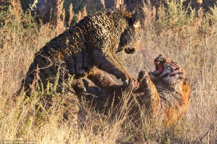 дикие тигры фото 7 (700x465, 291Kb)