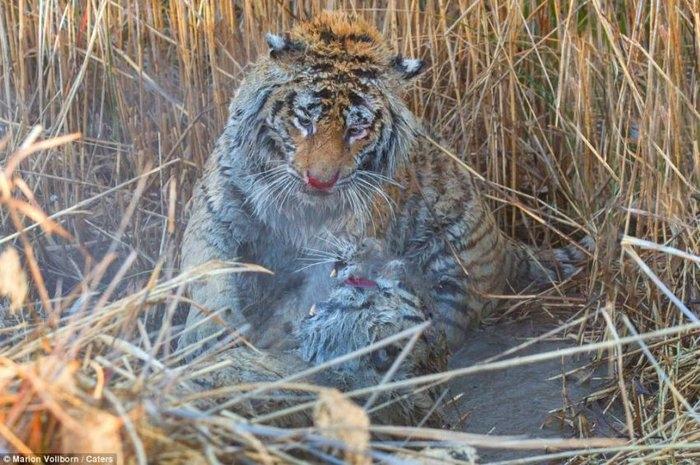 дикие тигры фото 9 (700x465, 243Kb)
