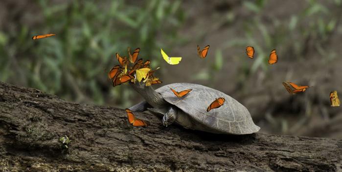 Черепахи фото (700x353, 233Kb)