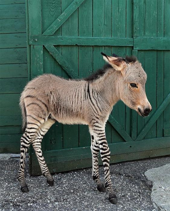 помесь осла и зебры фото 1 (563x700, 349Kb)