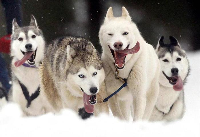 3578968_huskies1 (700x481, 42Kb)