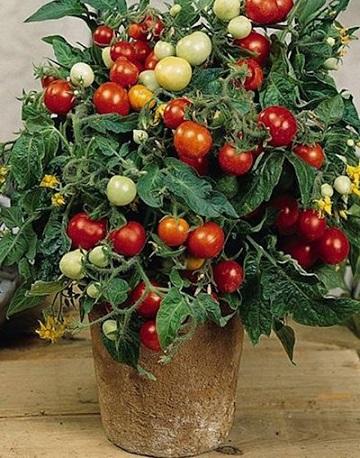 vyraschivanie-komnatnyh-tomatov (360x458, 93Kb)
