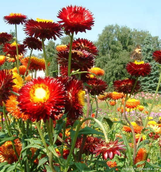 Можно ли держать цветы бессмертники дома