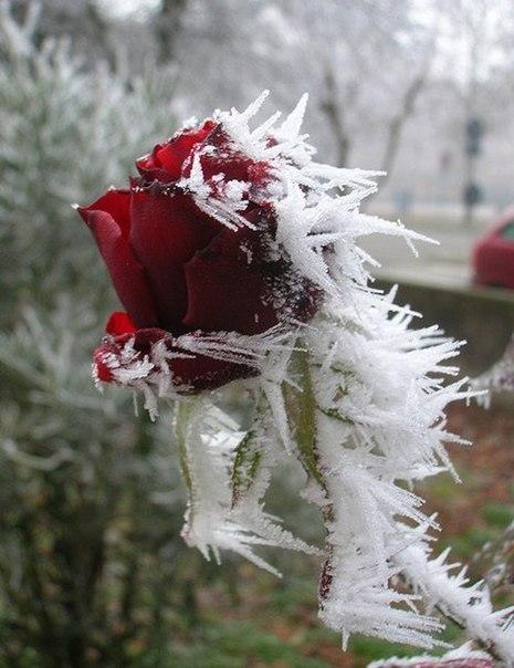 роза (465x604, 207Kb)