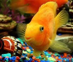 рыбка-золотая (243x208, 9Kb)