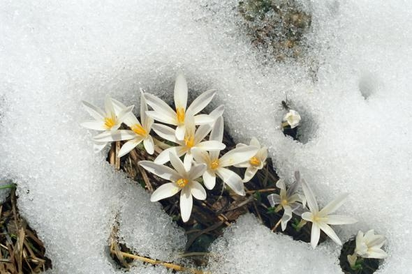 1354560371_cvety-pod-snegom-2 (590x393, 119Kb)