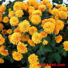 все сорта садовых цветов фото и