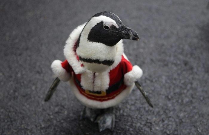 пингвины фото 7 (700x452, 77Kb)
