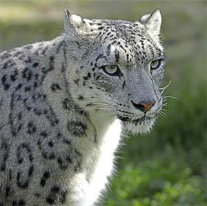 snow_leopard (300x299, 43Kb)