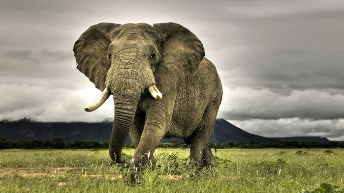 elephant-wallpaper-1366x768 (700x393, 191Kb)