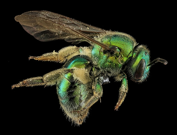 пчела фото 3 (570x435, 135Kb)