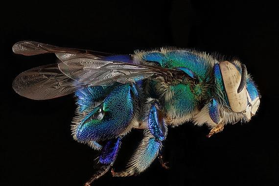 пчела фото 5 (570x380, 138Kb)
