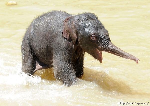 baby-elephant-2 (600x427, 204Kb)