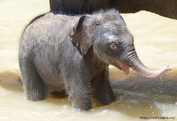 baby-elephant-7 (600x410, 210Kb)
