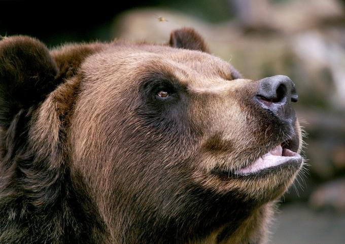 медведь фото 1 (680x482, 333Kb)