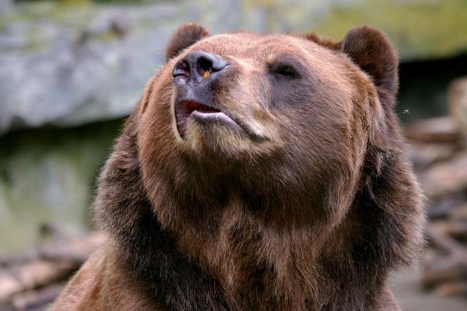 медведь фото 2 (680x454, 277Kb)