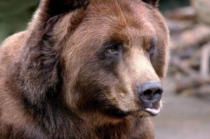 медведь фото 4 (680x453, 316Kb)