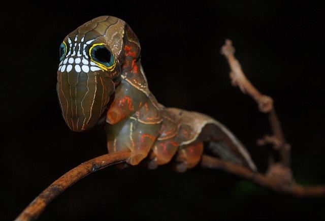 гусеница Phyllodes Imperialis фото 6 (640x435, 175Kb)