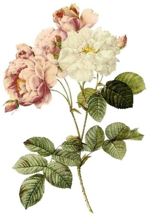 розы2 (481x700, 54Kb)