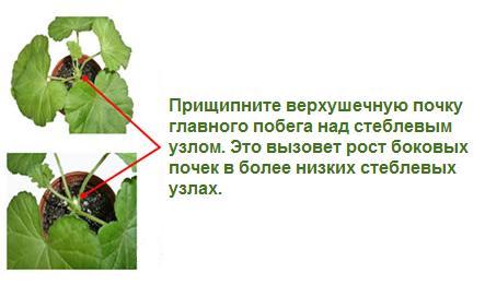 kak-prishipivat-ogurci-v-teplice (443x261, 18Kb)