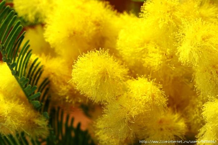 Настоящая мимоза цветок