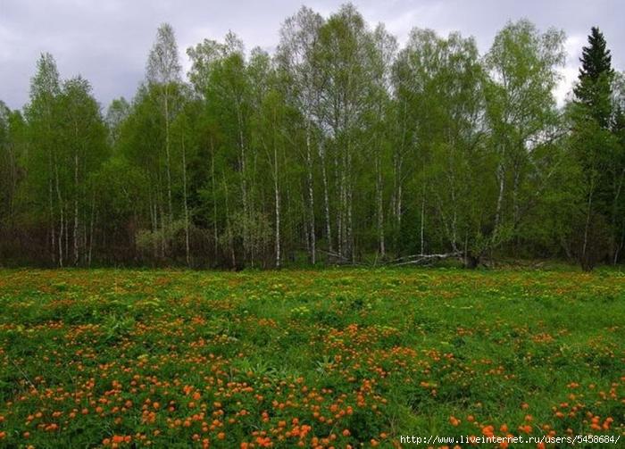 Фото лесных цветов западной сибири