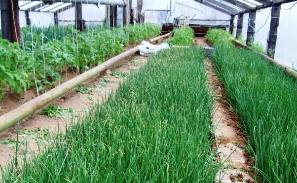 высоте Выращивание зеленого лука зимой на продажу самой