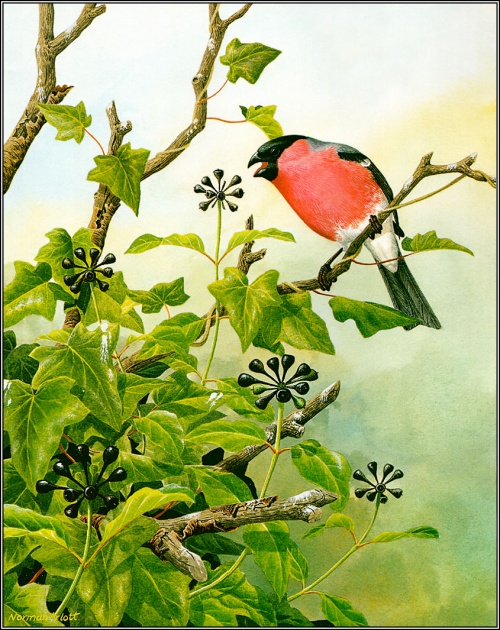 1384776733-pa_normanarlott_25_bullfinch (500x630, 448Kb)
