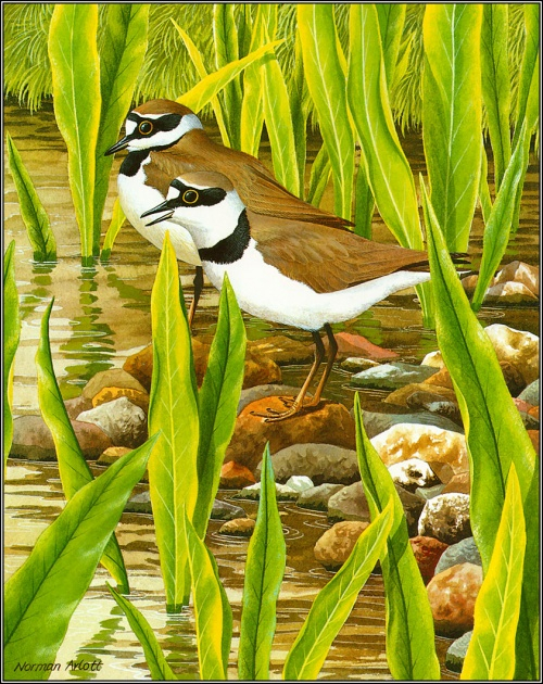 1384776738-pa_normanarlott_08_littlewingedplover (500x630, 519Kb)