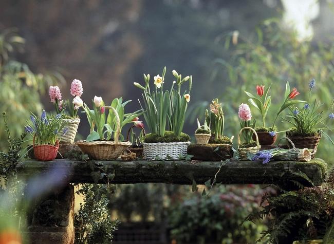 Луковичные цветы в интерьере. Подборка красивых фотографий (1) (650x475, 345Kb)