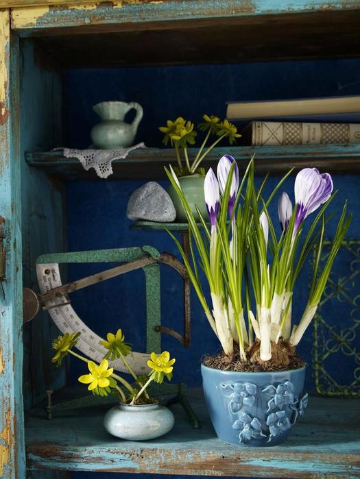 Луковичные цветы в интерьере. Подборка красивых фотографий (22) (525x700, 404Kb)