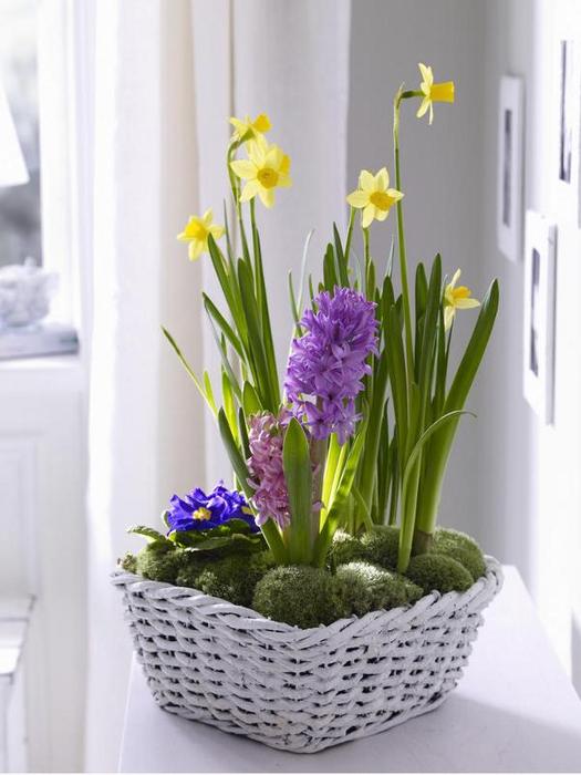 Луковичные цветы в интерьере. Подборка красивых фотографий (24) (525x700, 248Kb)
